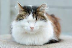 Πολύ ήρεμη όμορφη εσωτερική γάτα Στοκ Φωτογραφίες