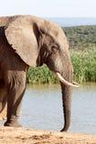 Πολύ αιωρηθείτε - αφρικανικός ελέφαντας του Μπους Στοκ Εικόνες