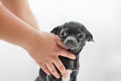 Πολύ αστείο κουτάβι Chihuahua Στοκ εικόνα με δικαίωμα ελεύθερης χρήσης