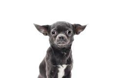 Πολύ αστείο κουτάβι Chihuahua Στοκ εικόνες με δικαίωμα ελεύθερης χρήσης