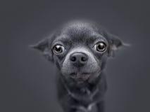 Πολύ αστείο κουτάβι Chihuahua Στοκ φωτογραφία με δικαίωμα ελεύθερης χρήσης