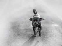 Πολύ αστείο κουτάβι Chihuahua Στοκ Φωτογραφίες