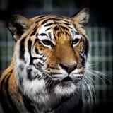Πολύ ευτυχής 16χρονη τίγρη που αγαπά τον ήλιο Στοκ Εικόνες