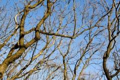 Πολύ καφετί δέντρο διακλαδίζεται χωρίς φύλλα ενάντια σε έναν μπλε ουρανό Στοκ φωτογραφίες με δικαίωμα ελεύθερης χρήσης