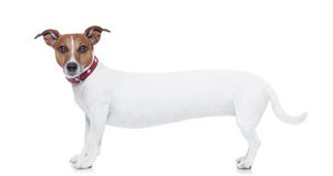 Πολύ μακρύ σκυλί στοκ εικόνες με δικαίωμα ελεύθερης χρήσης