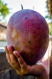 Πολύ μεγάλα φρούτα μάγκο Στοκ φωτογραφία με δικαίωμα ελεύθερης χρήσης