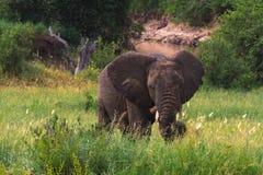Πολύ μεγάλος ελέφαντας στην πράσινη σαβάνα Tarangire, Τανζανία Στοκ εικόνες με δικαίωμα ελεύθερης χρήσης