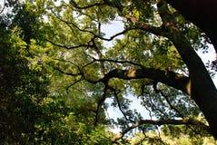 Πολύ μεγάλο πράσινο δέντρο Στοκ Εικόνα