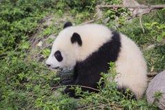 Πολύ νέο μωρό η γιγαντιαία Panda που κάθεται από το βράχο Στοκ Φωτογραφία