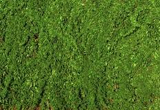 Πολύ πράσινο αναρριχητικό φυτό φρακτών κισσών στον τοίχο τσιμέντου Στοκ φωτογραφίες με δικαίωμα ελεύθερης χρήσης