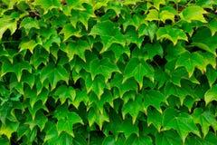 Πολύ πράσινο βγάζει φύλλα της κάλυψης κισσών έναν τοίχο Φύση Στοκ Φωτογραφίες