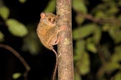 Πολύ σπάνιο φασματικό Tarsier, φάσμα Tarsius, εθνικό πάρκο Tangkoko, Sulawesi, Ινδονησία Στοκ Φωτογραφίες