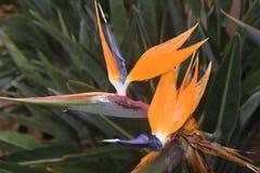 Πολύ συμπαθητικό και μεγάλο τροπικό λουλούδι Στοκ φωτογραφία με δικαίωμα ελεύθερης χρήσης