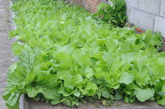 Πολύ φρέσκο πράσινο λαχανικό εκτός από έναν τοίχο Στοκ φωτογραφίες με δικαίωμα ελεύθερης χρήσης