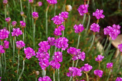 Πολύ maritima Armeria wildflower Στοκ Εικόνα