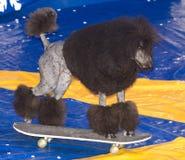 Πράξεις σκυλιών στο τσίρκο Στοκ εικόνα με δικαίωμα ελεύθερης χρήσης