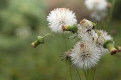 Πράσινα άγρια βοτανικά λουλούδια Vernonia χλόης φαιάς ουσίας λιγότεροι , Λίγα Στοκ Φωτογραφίες