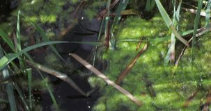 πράσινα άλγη σε μια λίμνη απόθεμα βίντεο