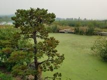 Πράσινα άλγη στο νερό στη λίμνη με τις καφετί και πράσινο χλόες και το δέντρο και τον αγωγό στοκ φωτογραφία με δικαίωμα ελεύθερης χρήσης