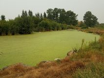 Πράσινα άλγη στο νερό στη λίμνη με τις καφετιές και πράσινες χλόες στοκ φωτογραφία