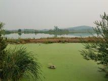 Πράσινα άλγη στο νερό στη λίμνη με τις καφετιές και πράσινες χλόες στοκ εικόνες