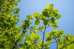 Πράσινα άνοιξη Φύλλωμα της σημύδας με τις ακτίνες του ήλιου Για το υπόβαθρο στοκ φωτογραφίες με δικαίωμα ελεύθερης χρήσης