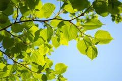 Πράσινα άνοιξη Φύλλωμα της σημύδας με τις ακτίνες του ήλιου Για το υπόβαθρο στοκ εικόνες