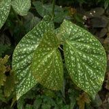 Πράσινα άσπρα επισημασμένα φύλλα Στοκ Εικόνες