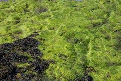 Πράσινα άλγη και φύκι σε μια παραλία Στοκ Εικόνα
