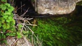 Πράσινα άλγη στον ποταμό απόθεμα βίντεο