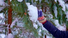 Πράσινα έλατα στο χιόνι στο winterrapid απόθεμα βίντεο