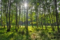 Πράσινα δέντρα με τα sunrays Στοκ Φωτογραφίες