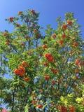 Πράσινα δέντρα με το πορτοκαλί καλοκαίρι του Rowan Στοκ φωτογραφία με δικαίωμα ελεύθερης χρήσης