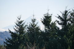 Πράσινα δέντρα του FIR στο Όρεγκον Στοκ Φωτογραφίες