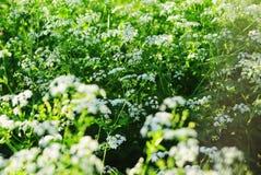 Πράσινα αλσύλλια ανθίζοντας elderberry Στοκ Φωτογραφίες
