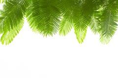 πράσινα απομονωμένα φύλλα Στοκ Εικόνα