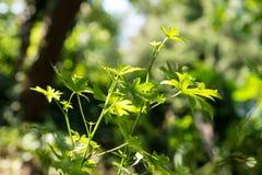 Πράσινα από την Ανατολία Liquidambar sweetgum φύλλα orientalis Εκλεκτική εστίαση στα φύλλα Στοκ φωτογραφία με δικαίωμα ελεύθερης χρήσης