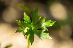 Πράσινα από την Ανατολία Liquidambar sweetgum φύλλα orientalis Εκλεκτική εστίαση στα φύλλα Στοκ φωτογραφίες με δικαίωμα ελεύθερης χρήσης