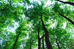 Πράσινα δασικά δέντρα Στοκ Εικόνες