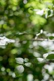 Πράσινα δασικά φύλλα φυτών και υπόβαθρο θαμπάδων στοκ εικόνες