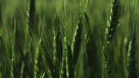 Πράσινα αυτιά του σίτου που ταλαντεύονται στον αέρα Κινηματογράφηση σε πρώτο πλάνο απόθεμα βίντεο