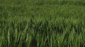 Πράσινα αυτιά του σίτου που ταλαντεύονται στον αέρα φιλμ μικρού μήκους