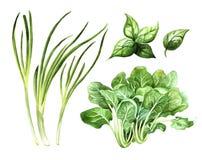 Πράσινα λαχανικά καθορισμένα, σπανάκι κρεμμυδιών και βασιλικός Στοκ Εικόνα