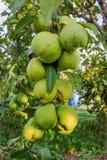Πράσινα αχλάδια σε έναν κλάδο δέντρων αχλαδιών Άφθονος fruiting στοκ φωτογραφία
