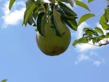 Πράσινα αχλάδια στους κλάδους δέντρων Στοκ φωτογραφία με δικαίωμα ελεύθερης χρήσης