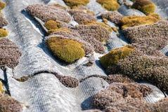 Πράσινα βρύο και άλγη στα κεραμίδια στεγών πλακών στοκ εικόνα