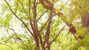 Πράσινα δέντρα ενάντια στο μπλε ουρανό και το λάμποντας ήλιο Έννοια φύσης διακοπών ταξιδιού Κοιτάξτε επάνω στην άποψη στο δασικό  απόθεμα βίντεο