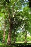 πράσινα δέντρα πάρκων Στοκ εικόνες με δικαίωμα ελεύθερης χρήσης