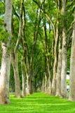 πράσινα δέντρα σειρών μονοπ&a Στοκ Εικόνες