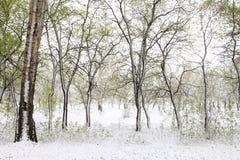 Πράσινα δέντρα στο χιόνι _ άνοιξη της Σιβηρίας Στοκ φωτογραφίες με δικαίωμα ελεύθερης χρήσης
